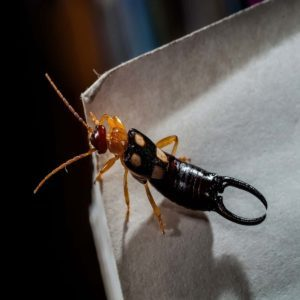 Earwigs: Are They Dangerous to People and Pets?