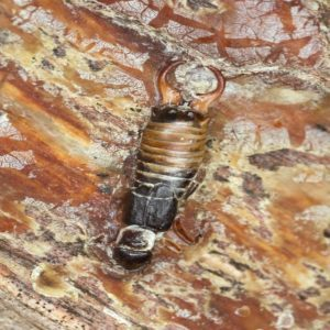 How to Remove and Prevent Earwigs in the Home and Yard