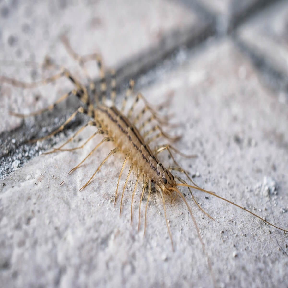 Centipede Pest Control How To Identify And Get Rid Of Centipedes