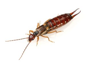 What does an earwig look like