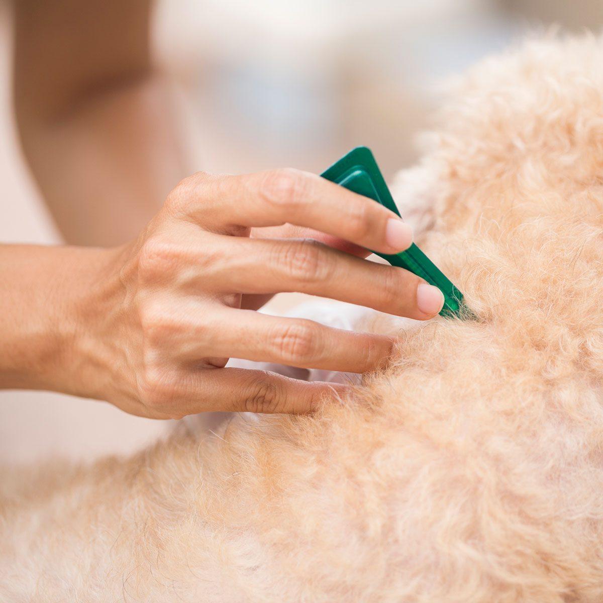 Woman applying flea treatment to dog