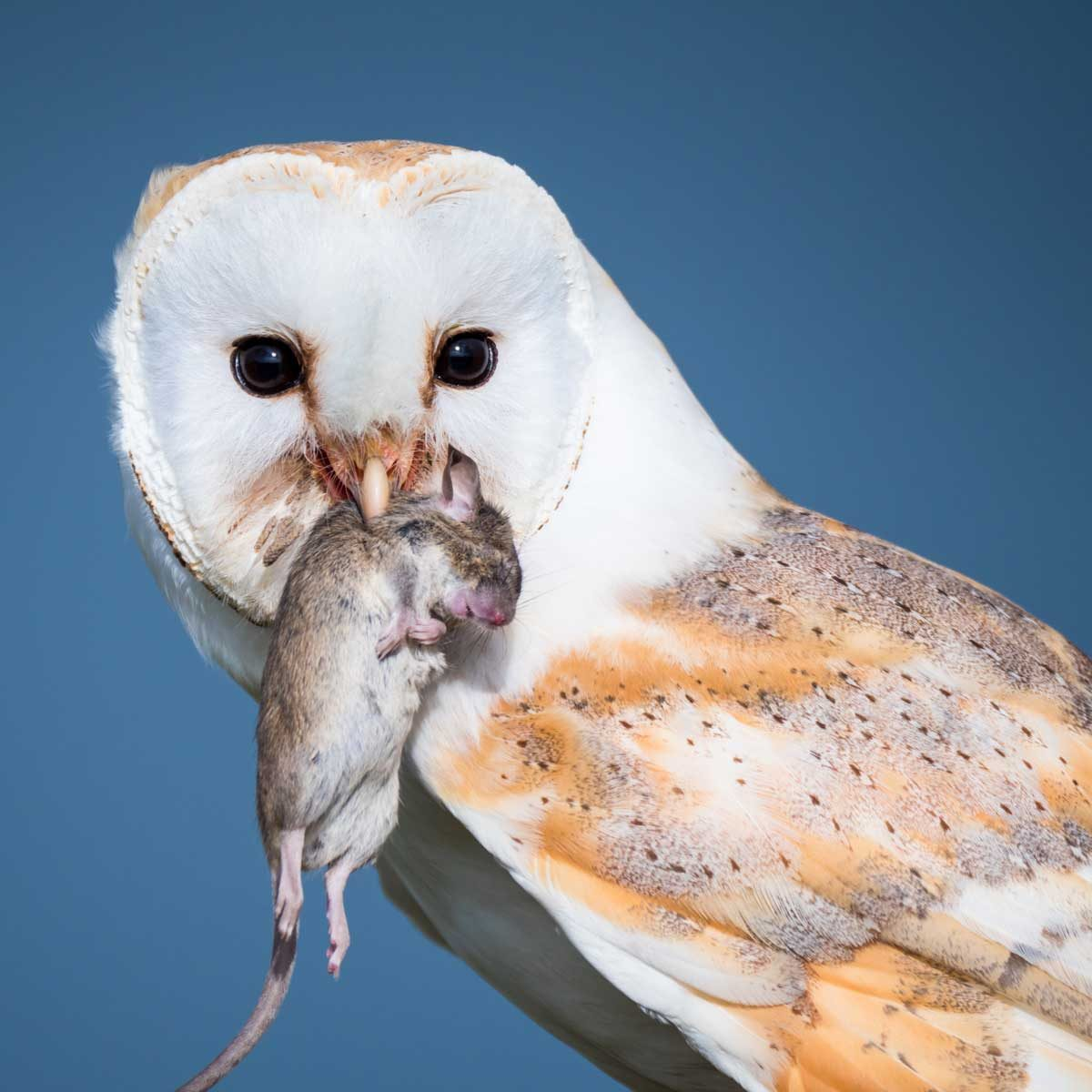 Owl eating a rodent