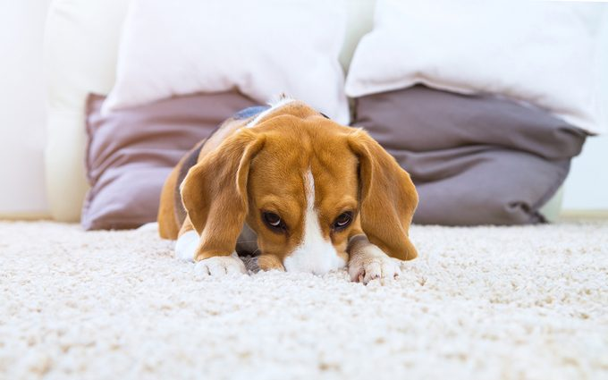 Dog on white fluffy carpet at home. Background with beagle dog in light colors. Sad beagle relax on carpet. Dog with big brown ears.