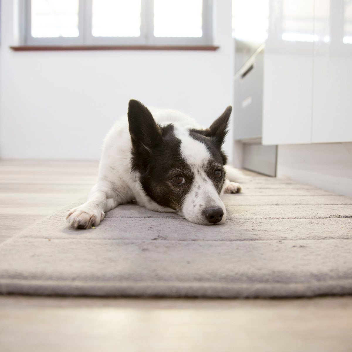 A little dog lying on the floor inside. Copy Space
