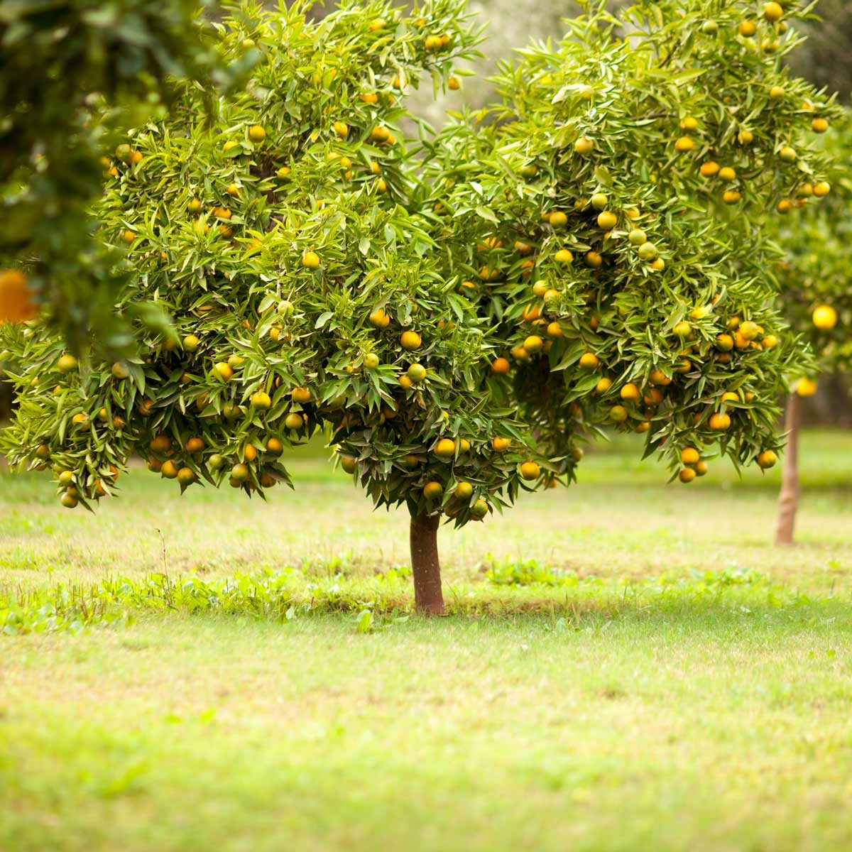 fruit tree in field