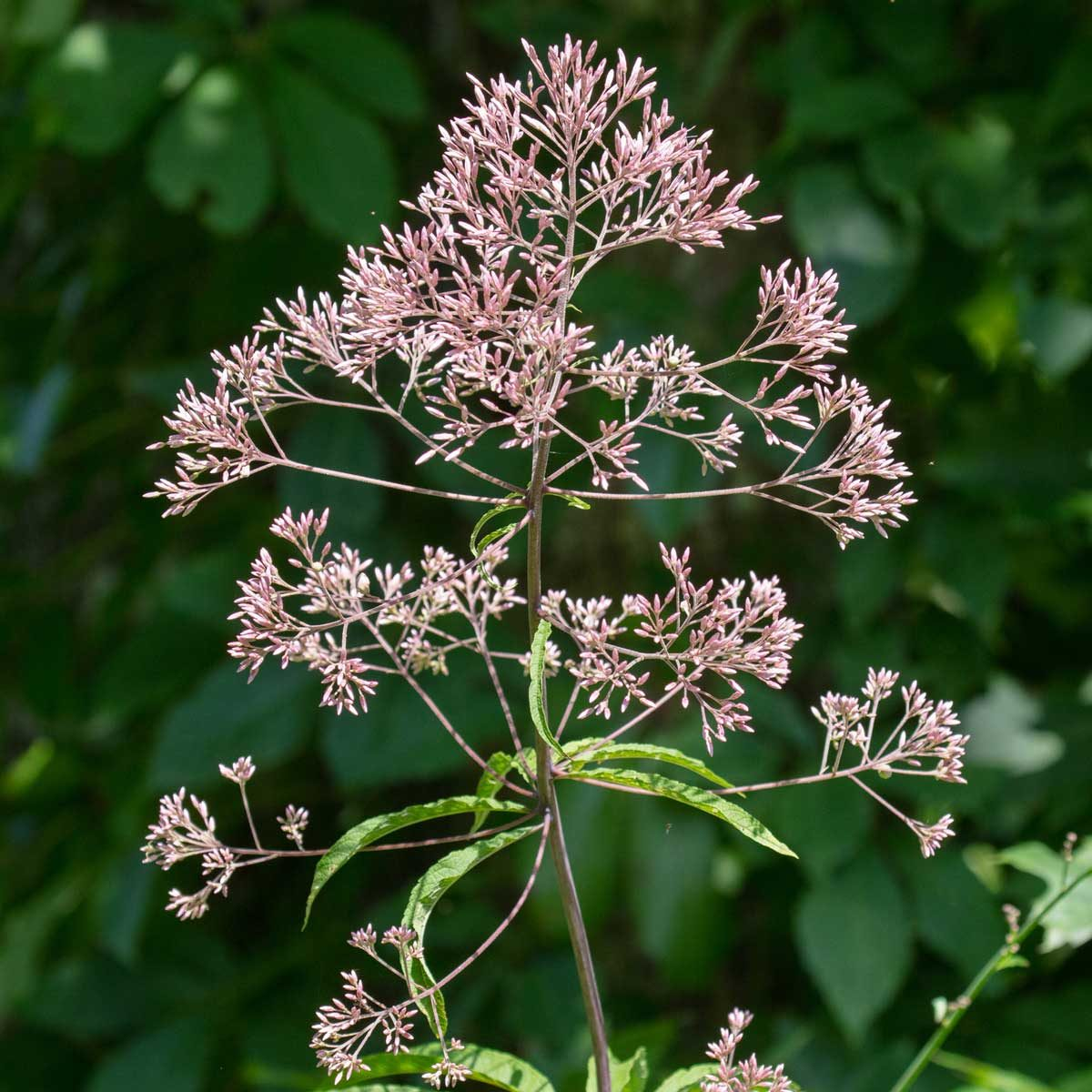 Tall Joe Pye Weed