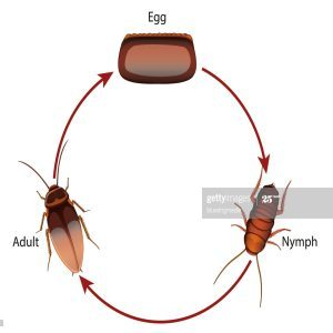 Stages and Phases of a Cockroach's Life Cycle