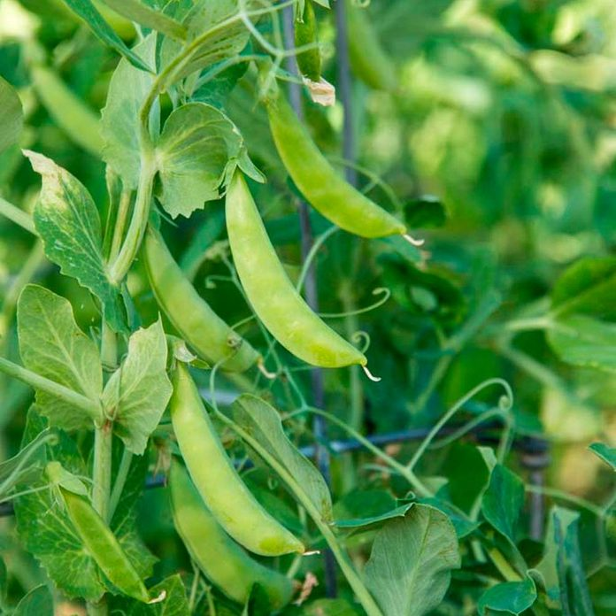 grow peas at home