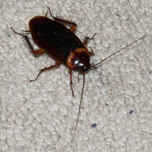 Cockroach Information and Pest Control for Home and Business Owners