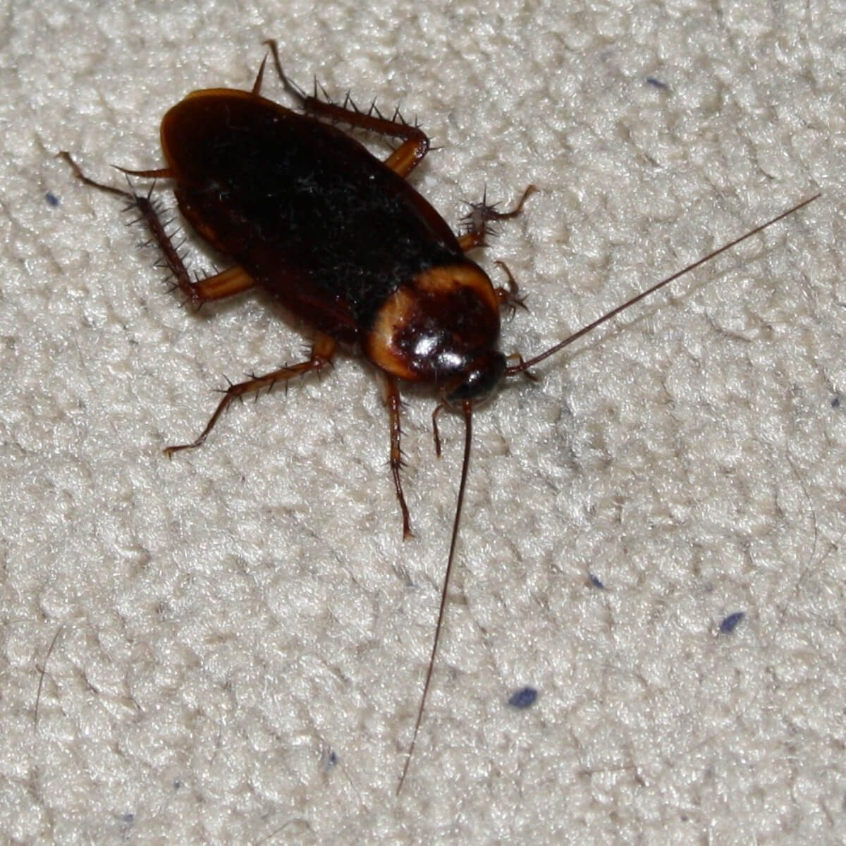 Common house cockroach