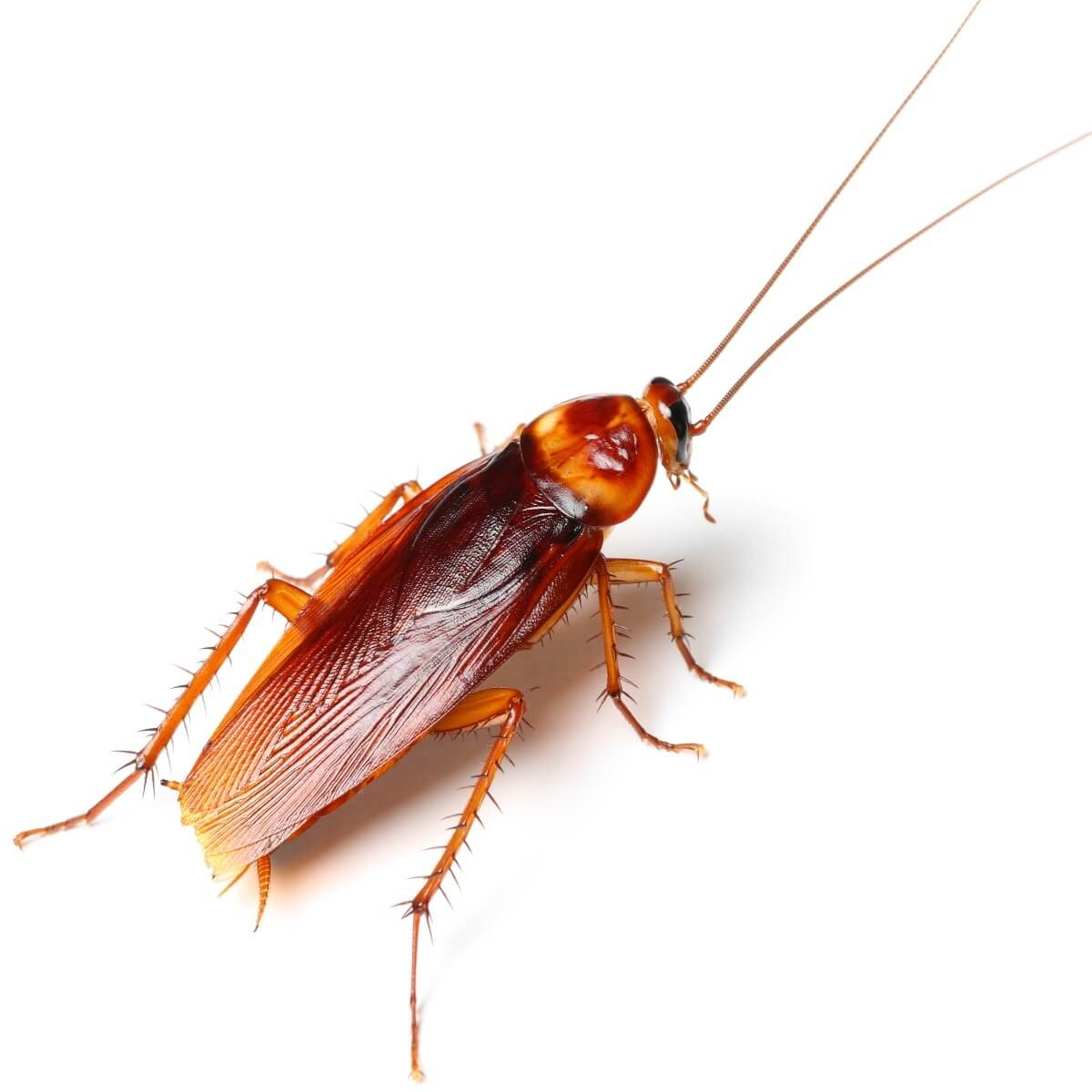 12 Interesting Cockroach Facts: Name, Body, And Behaviors