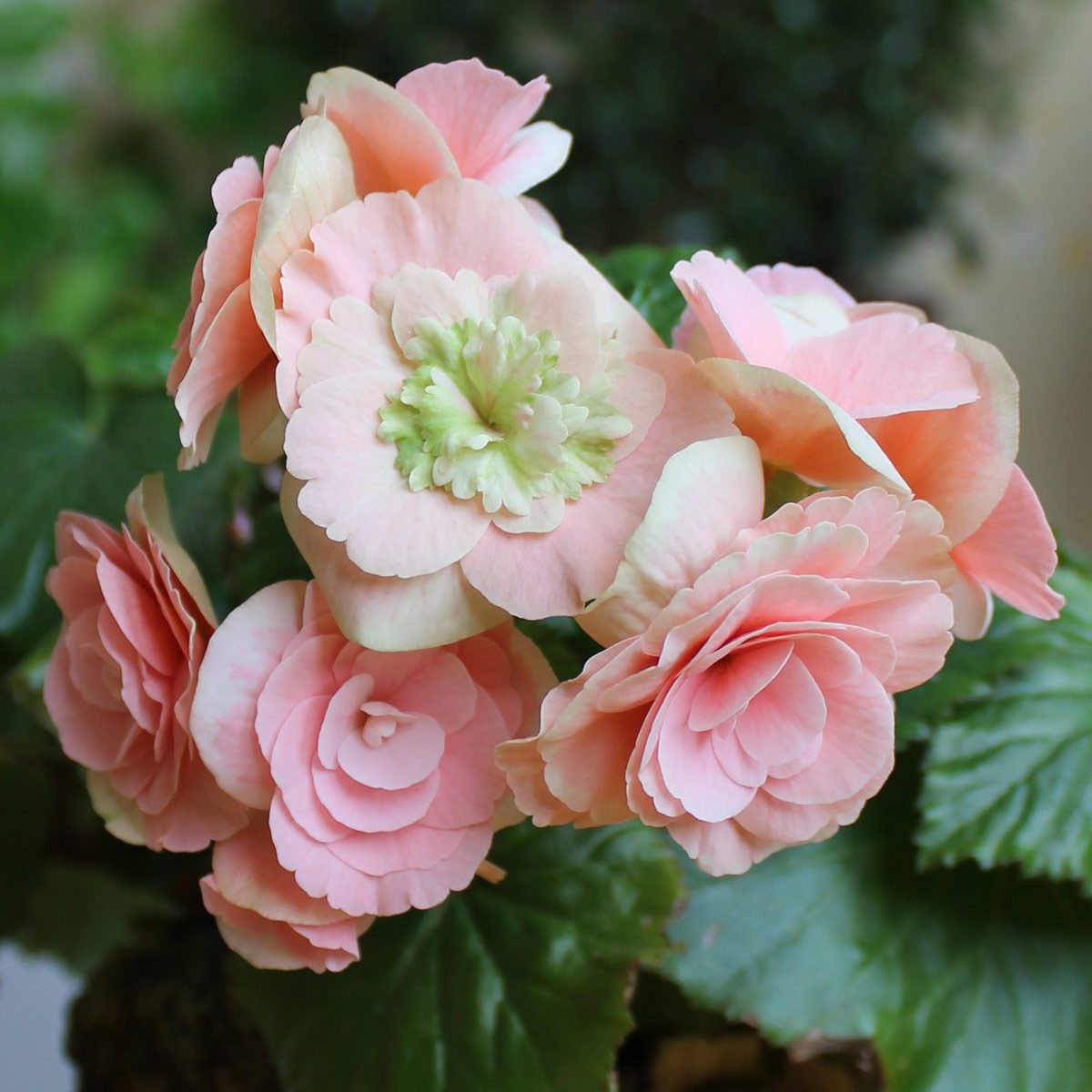 Blooming Begonia tuberhybrida close up