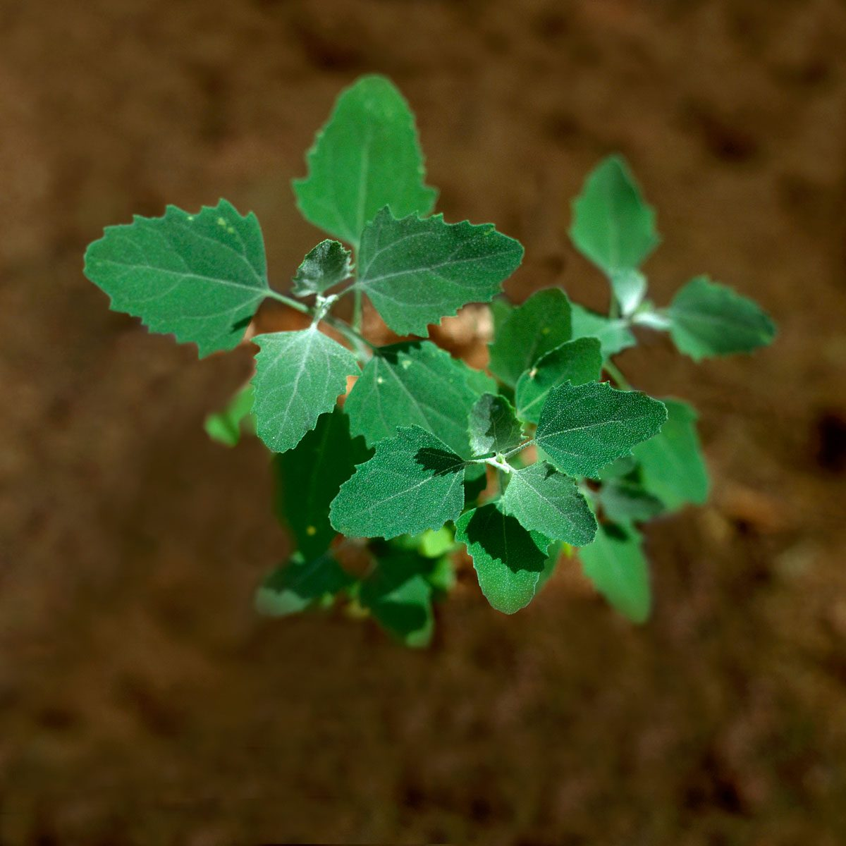Lambsquarters weeds