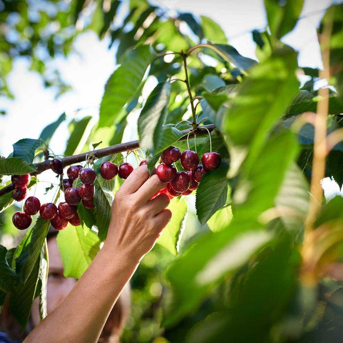Picking cherries