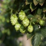 How to Grow Hops