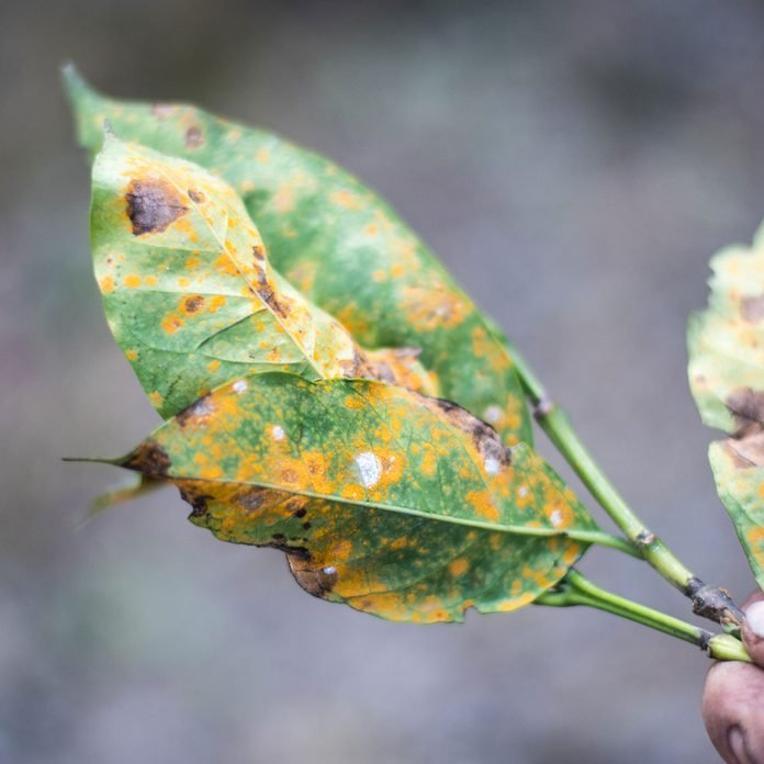 Leaf with rust