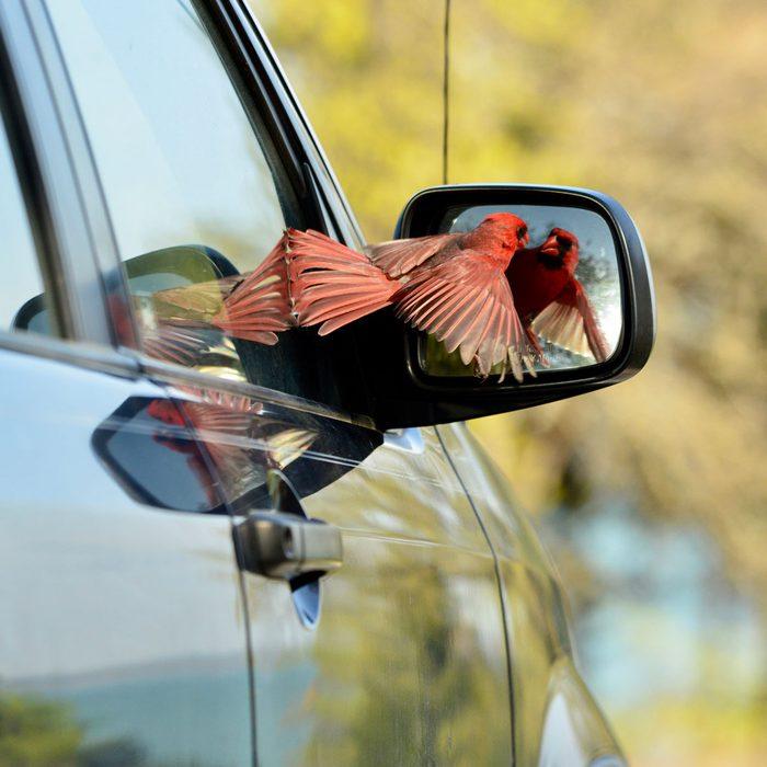 Bird attacking car mirror