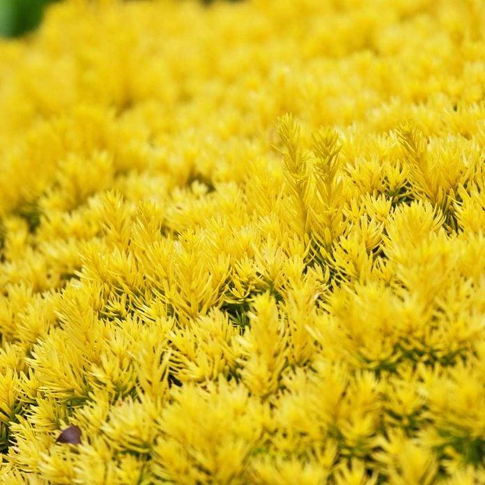 Bright gold yew