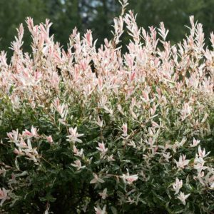 15 Tough Shrubs That Will Grow Anywhere