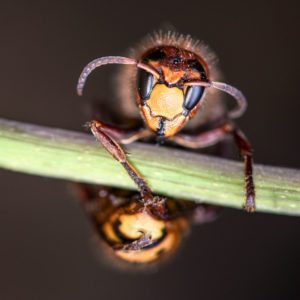 What to Know About Murder Hornets