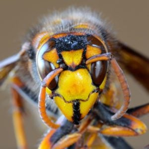 Murder Hornets Have Arrived in the U.S.
