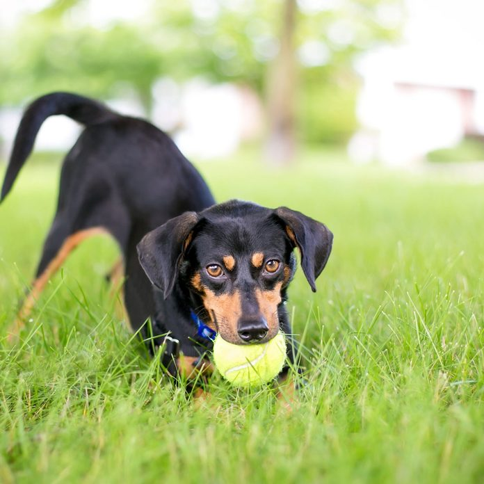 A playful black and red Dachshund mixed breed dog in a play bow position with a ball in its mouth