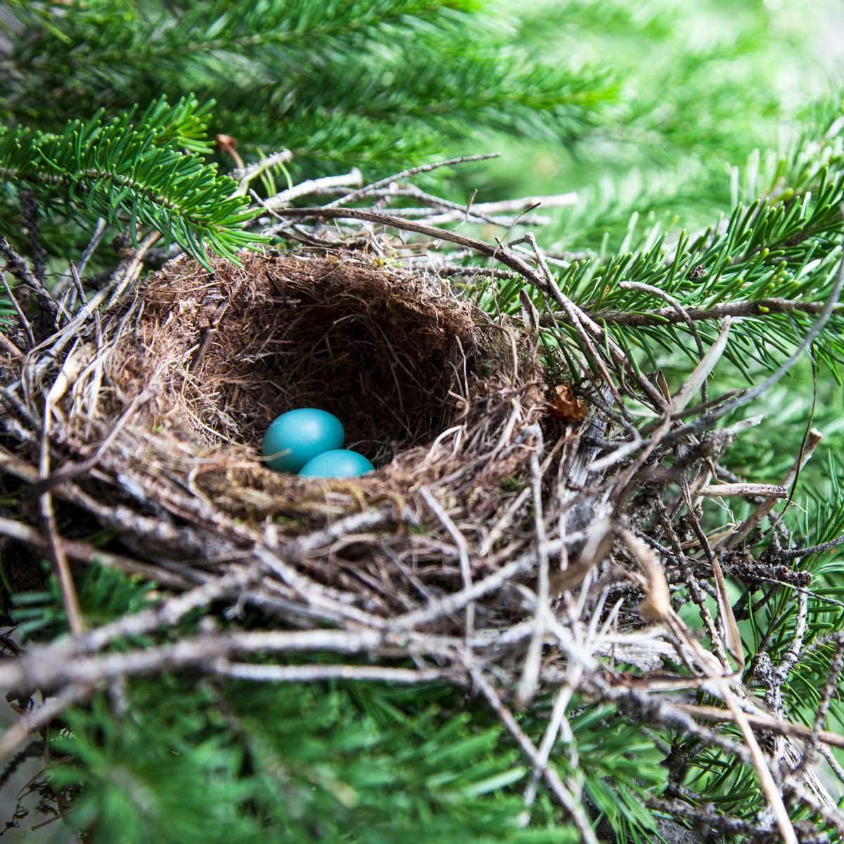 Bird eggs in a nest