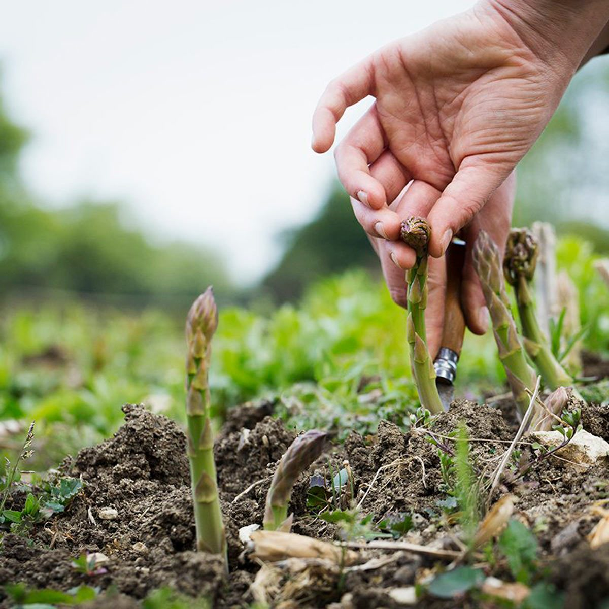 10 Perennial Vegetables You Can Plant and Forget