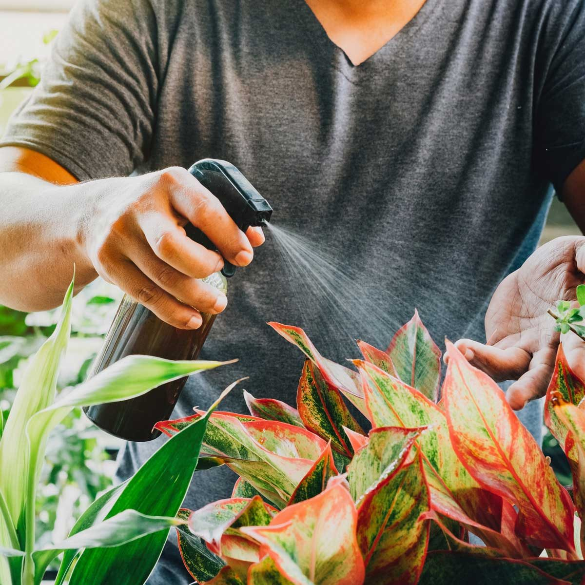 Man watering an aglaonema plant