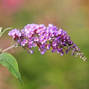 Are Butterfly Bushes Actually Bad for Butterflies?