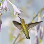 Do Hostas Attract Hummingbirds?
