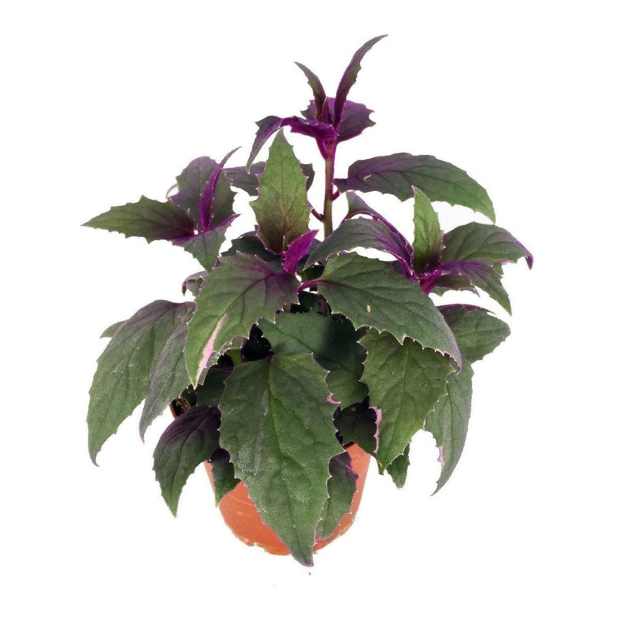 Purple passion plant