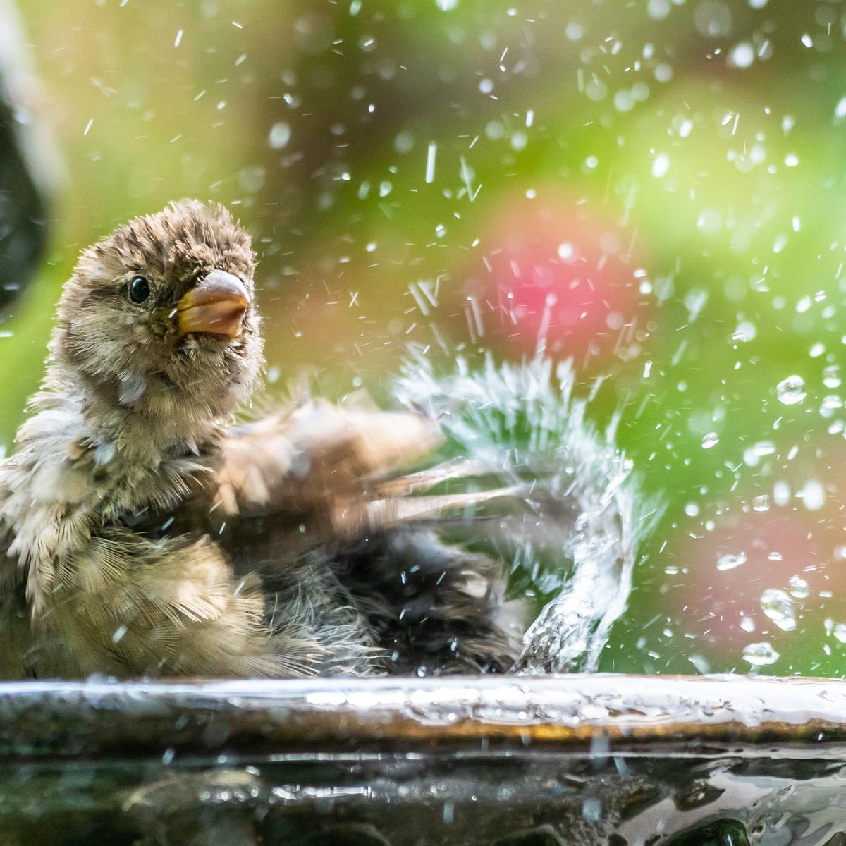 Splashing Sparrow at Birdbath