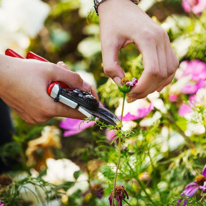 Close up of gardener cutting a flower deadheading