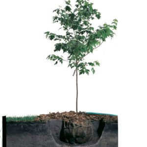 How to Plant a Maple Tree