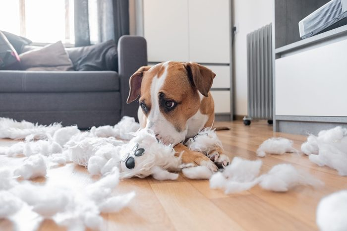 Guilty dog and a destroyed teddy bear at home. Staffordshire terrier lies among a torn fluffy toy, funny guilty look