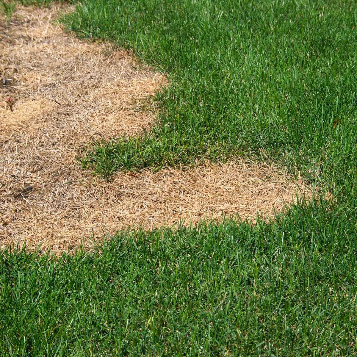 Dry grass patch