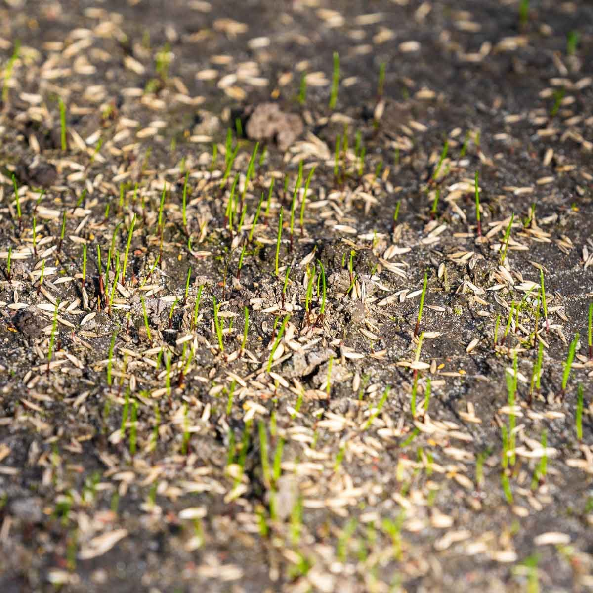 Grass seed starting to grow