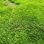 Moss Grass: Grow It or Get Rid of It?