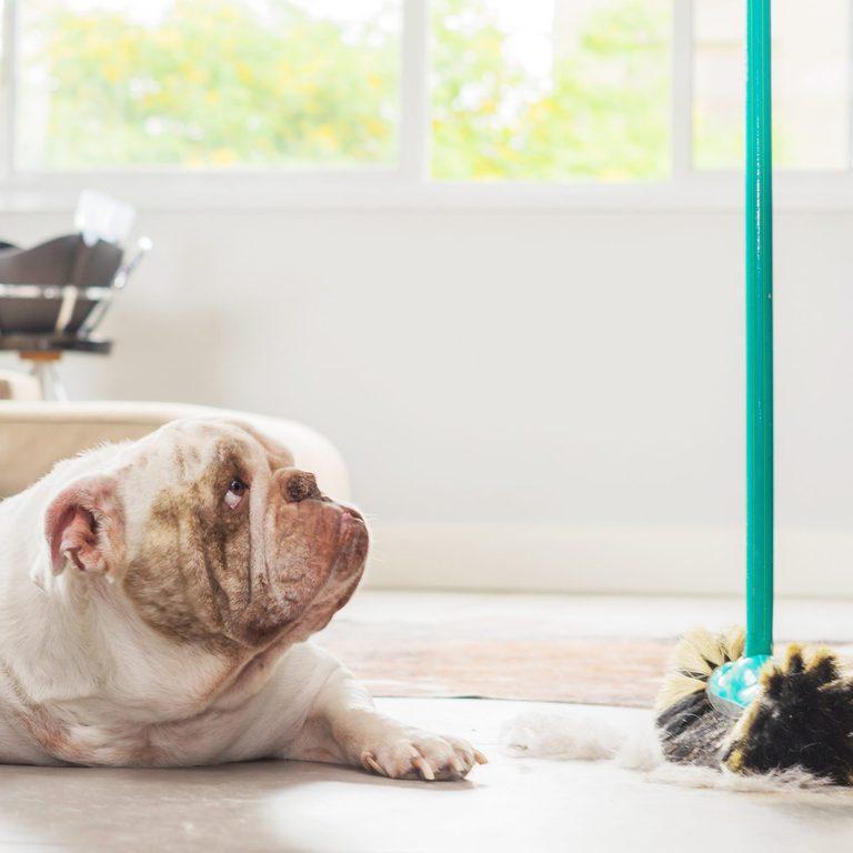 bulldog looking at a broom