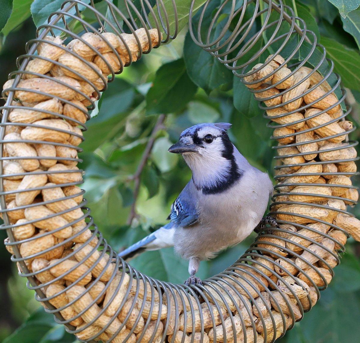 Blue jay on peanut bird feeder