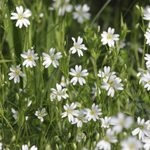 What Is Chickweed and How Do I Get Rid of It?