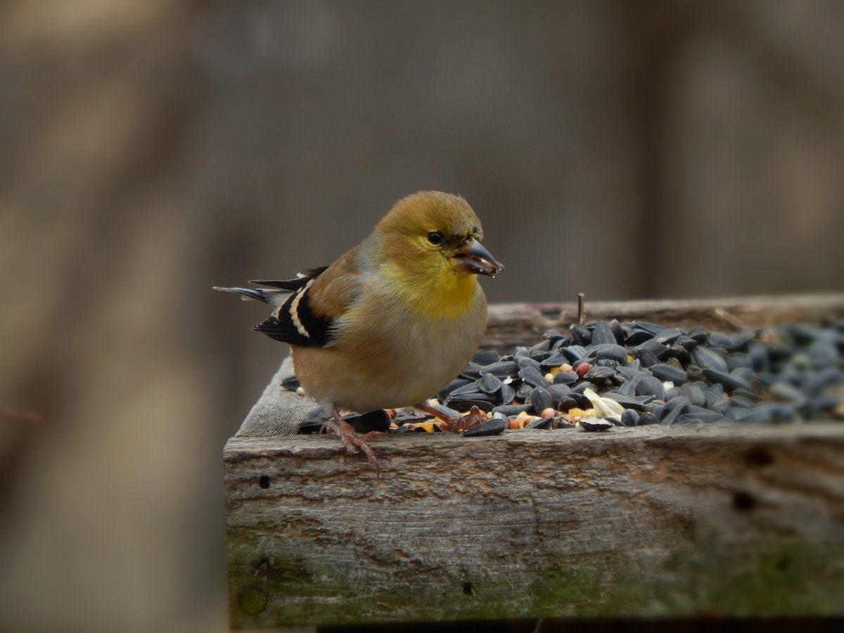 goldfinch on tray feeder