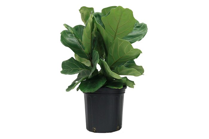 Ficus Lyrata, Fiddle-Leaf Fig Floor Plant in 9.25 in. Grower Pot