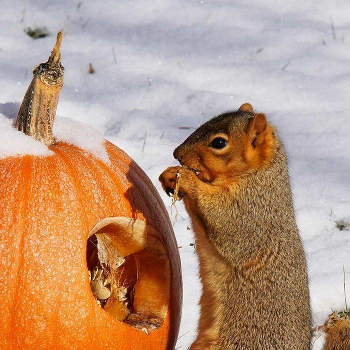 squirrel eating pumpkin