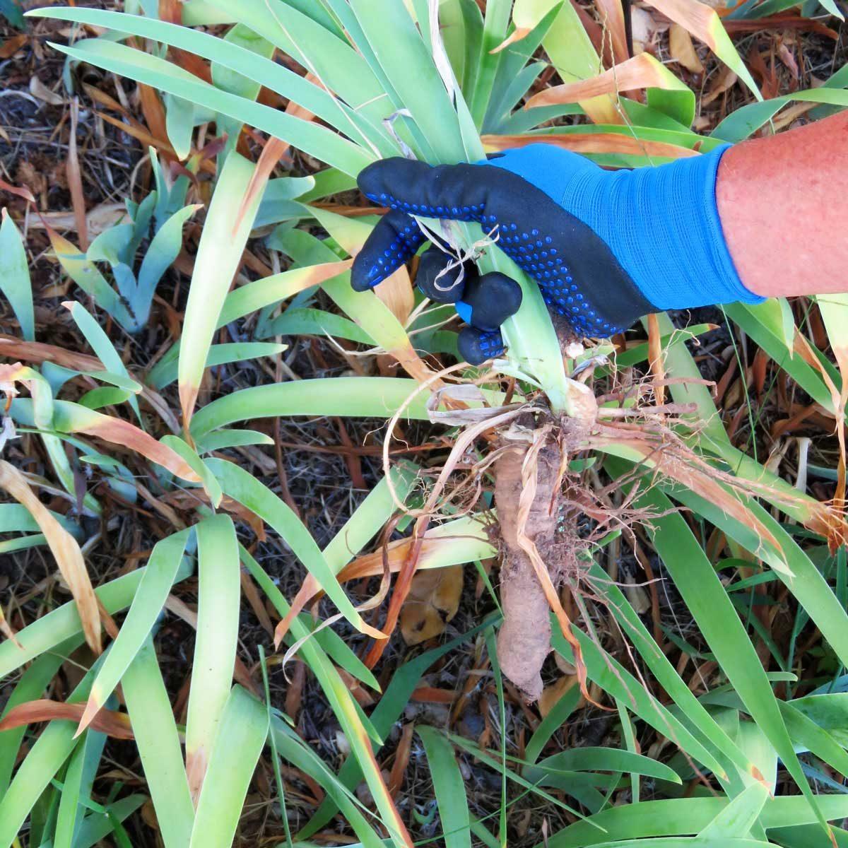 Gardener, Hand of Senior Man thinning bulb plant dividing perennials