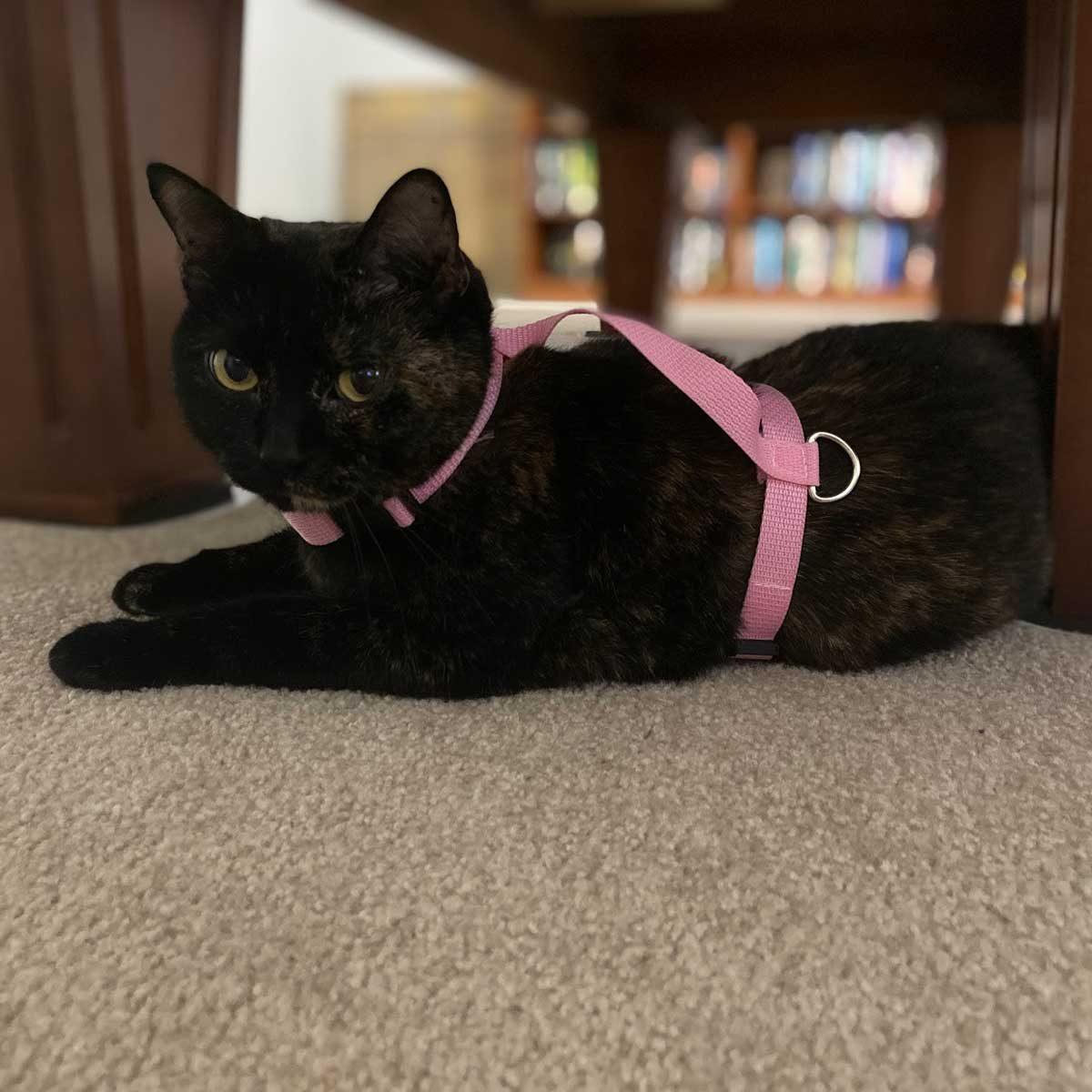 Black cat wearing a harness