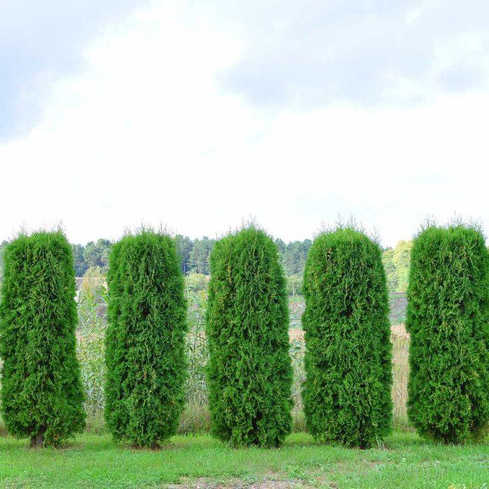 Row of shrubs