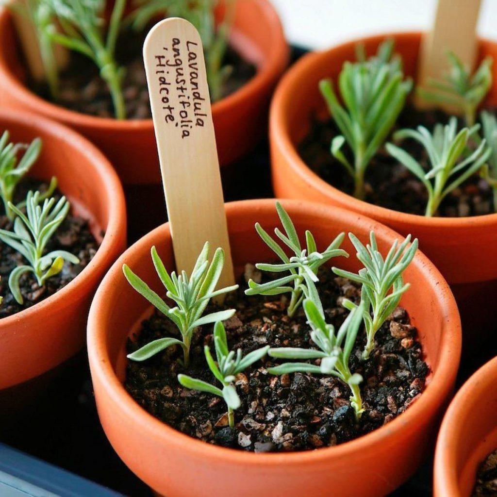 propagation of lavender cuttings