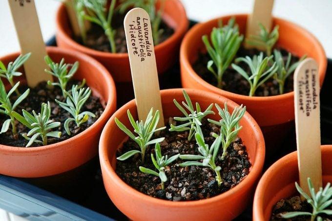lavender cuttings